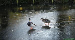Brr… quack